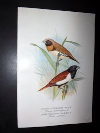 Frohawk & Butler 1899 Bird. Chestnut-Breasted Finch, Three Coloured Mannikin